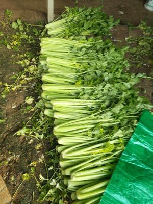 山东省菏泽市鄄城县美国西芹 60cm以上 1.0~1.5斤 大棚种植