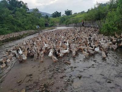 这是一张关于淘汰鸭 2-3斤 母 半圈养半散养的产品图片