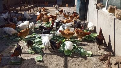 内蒙古自治区呼伦贝尔市鄂伦春自治旗七彩山鸡 2-3斤