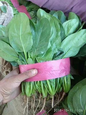 这是一张关于大叶菠菜 30~35cm的产品图片