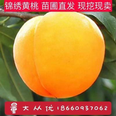 黄桃王 1~1.5米