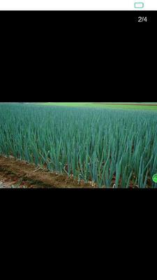 河南省南阳市卧龙区长白大葱 30~50cm 净葱