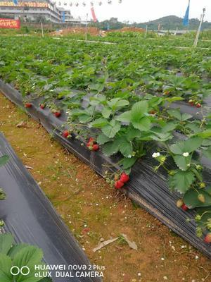 这是一张关于红颜草莓 40克以上的产品图片