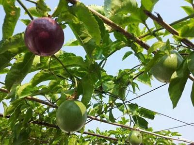 这是一张关于紫红色百香果 60 - 70克的产品图片