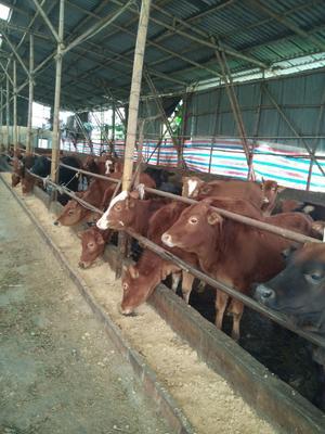 这是一张关于土黄牛 400-600斤 统货的产品图片