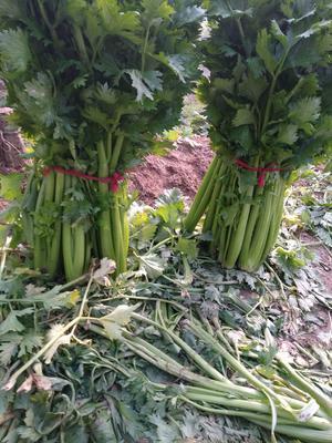 河南省周口市扶沟县美国文图拉芹菜 55~60cm 0.5~1.0斤 大棚种植