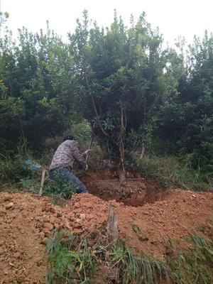 这是一张关于大黑炭杨梅树苗的产品图片