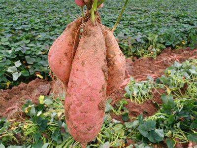 河北省保定市定兴县济薯26号红薯 混装通货 红皮