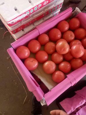 河北省邯郸市丛台区硬粉番茄 精品 弧三以上 硬粉