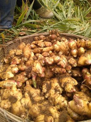 广西壮族自治区来宾市象州县肉姜 6两以上 带土