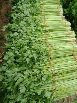 山西省运城市平陆县法国皇后芹菜 55~60cm 1.5~2.0斤 大棚种植