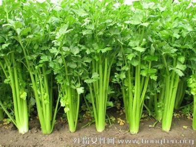 山东省临沂市沂南县西芹 40~45cm 0.5~1.0斤 大棚种植