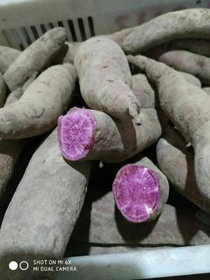 山西省运城市夏县板栗薯 3两~6两 紫皮
