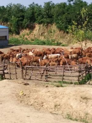 这是一张关于黄牛 600-800斤 公牛的产品图片