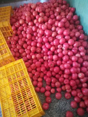 云南省楚雄彝族自治州元谋县粉果番茄 通货 弧二以上 硬粉
