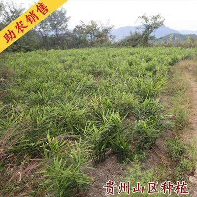 贵州省黔东南苗族侗族自治州黄平县火姜 6两以上 带土