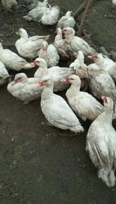 河南省商丘市民权县鸳鸯鸭 8-9斤 统货 半圈养半散养