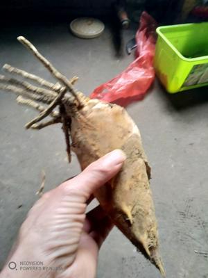 这是一张关于黄泥冬笋 17~21cm 鲜笋的产品图片