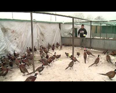 黑龙江省黑河市逊克县七彩山鸡 3-4斤