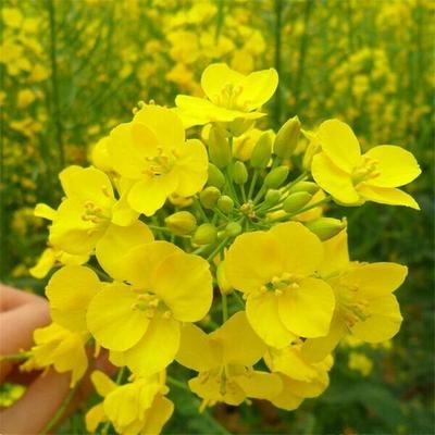 山东省烟台市长岛县油菜籽种子 常规种 ≥99% ≥99% ≥99% ≤3%