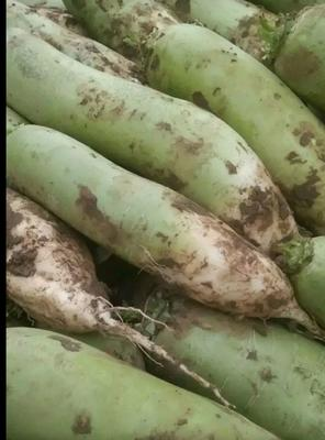 湖北省襄阳市宜城市青皮萝卜 1~1.5斤