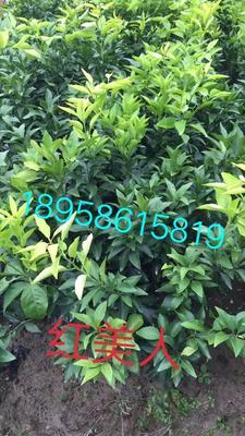 红美人柑橘苗 嫁接苗 1~1.5米