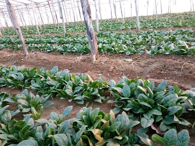 大叶菠菜 10~15cm图片