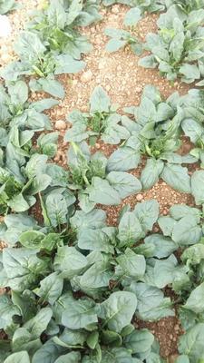 这是一张关于圆叶菠菜 10~15cm的产品图片
