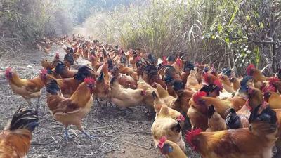 这是一张关于金凤凰土鸡 2-3斤 统货的产品图片