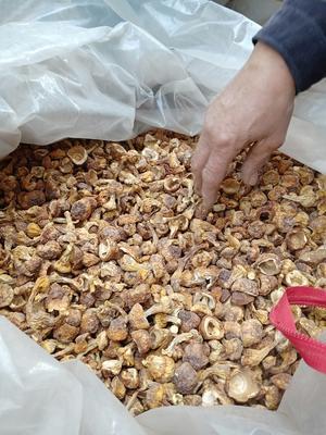 河北省邯郸市曲周县野生松茸 5cm-7cm 未开伞 干货 人工种植