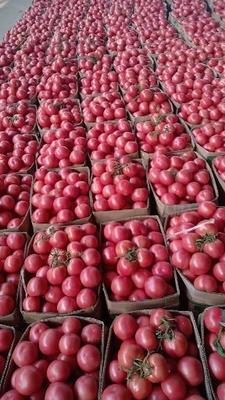江苏省连云港市东海县硬粉番茄 精品 弧二以上 硬粉
