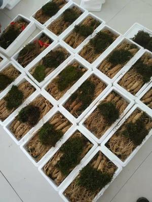 这是一张关于园参 鲜参 盒装 整根的产品图片