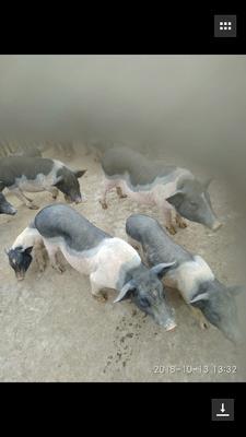 这是一张关于土花猪 60斤以上的产品图片