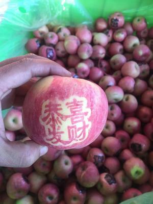 这是一张关于红富士苹果 70mm以上 全红 纸+膜袋的产品图片