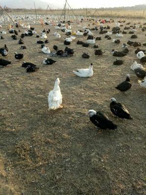 宁夏回族自治区固原市西吉县洋鸭子 5-6斤 统货 全散养