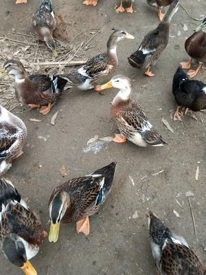 广西壮族自治区钦州市浦北县肉鸭 5-6斤 统货 全圈养