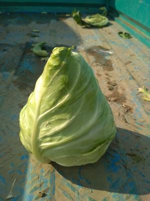 上海嘉定区牛心甘蓝 1.0~1.5斤