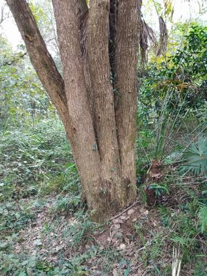 这是一张关于樟树苗的产品图片