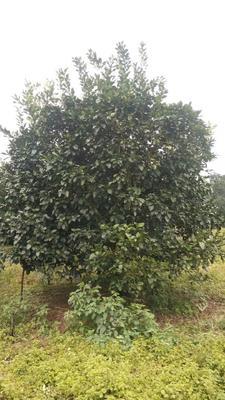 这是一张关于福建柚子苗的产品图片