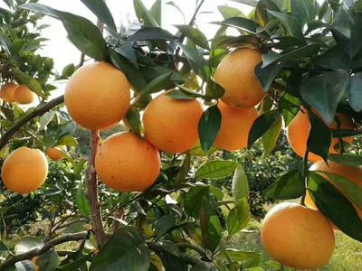 这是一张关于纽荷尔脐橙 60 - 65mm 4-8两的产品图片