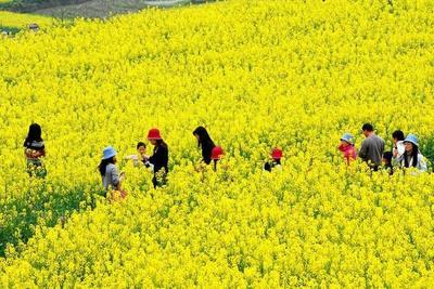 山东省临沂市平邑县油菜籽种子 常规种 ≥98% ≥97% ≥98% ≤5%