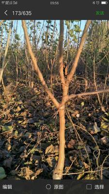 这是一张关于黑珍珠桑树苗的产品图片