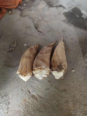 江西省抚州市南丰县冬笋 17~21cm 鲜笋