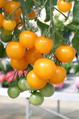这是一张关于黄樱桃番茄的产品图片
