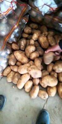 河北省邯郸市丛台区荷兰15号土豆 4两以上