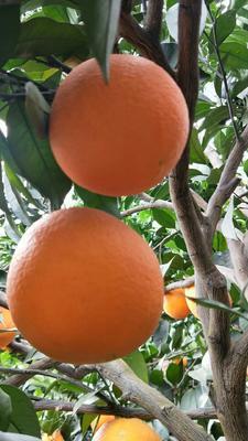 这是一张关于雷波脐橙 55 - 60mm 4-8两的产品图片
