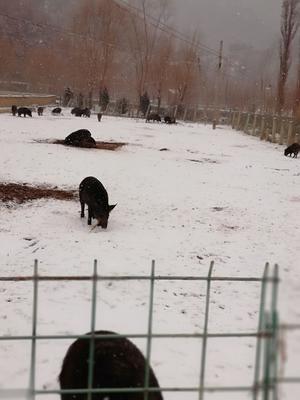 这是一张关于生态土黑毛猪 160斤以上的产品图片