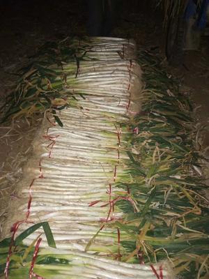 陕西省渭南市合阳县长白大葱 50cm以上 毛葱