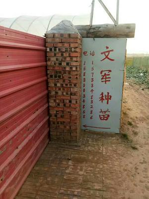 河北省邯郸市大名县东北大白菜 1~2斤 净菜