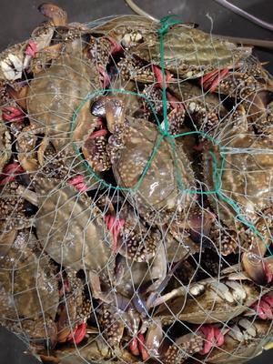 这是一张关于梭子蟹 母蟹 4.0两以上的产品图片